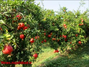 باغ انار در نجف آباد باغ انار باغ انار در نجف آباد + تصاویر 1571210594 I3sN9 300x225