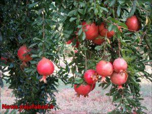 باغ انار در نجف آباد باغ انار باغ انار در نجف آباد + تصاویر 1571210605 X9sL1 300x225