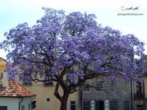 درخت پالونیا خطر «پالونیا» برای خدمت خطر «پالونیا» برای خدمت                                                                         6 300x225