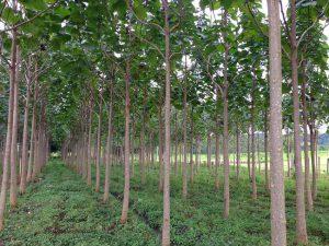 درخت پالونیا خطر «پالونیا» برای خدمت خطر «پالونیا» برای خدمت                                                                         7 300x225
