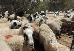 دستگیری سارق ۲۱ گوسفند در نجف آباد دستگیری سارق 21 گوسفند در نجف آباد دستگیری سارق ۲۱ گوسفند در نجف آباد                 295x202