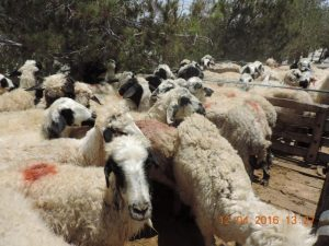 سرقت دام دستگیری سارق ۲۱ گوسفند در نجف آباد دستگیری سارق ۲۱ گوسفند در نجف آباد                 300x225