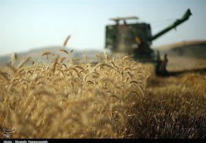 گندم تحویل ۱۱۵۰ تن گندم به مرکز خرید نجف آباد تحویل ۱۱۵۰ تن گندم به مرکز خرید نجف آباد                   300x209