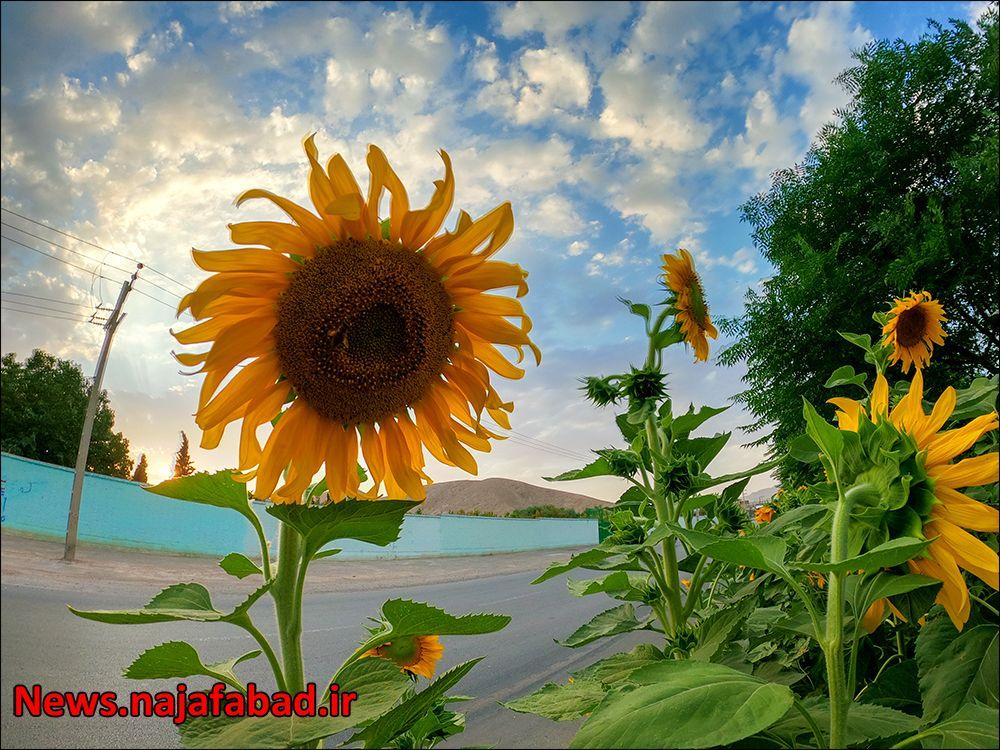 کاشت گل آفتابگردان در نجف آباد ۹هزار متر مربع آفتابگردان در بلوار نجف آباد+تصاویر ۹هزار متر مربع آفتابگردان در بلوار نجف آباد+تصاویر 1597225343 V8qL7 1