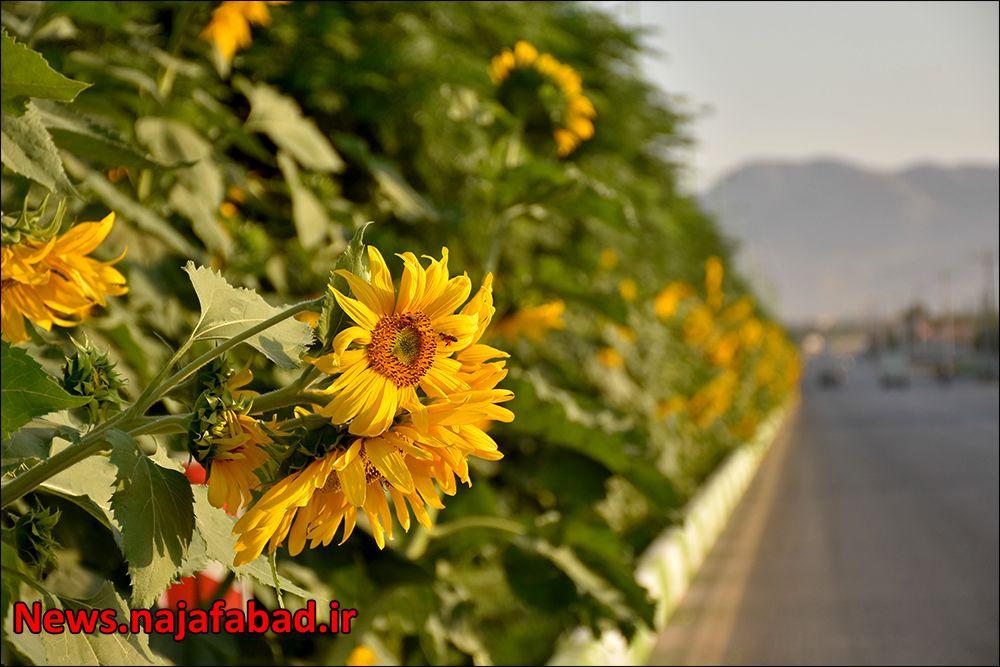 کاشت گل آفتابگردان در نجف آباد ۹هزار متر مربع آفتابگردان در بلوار نجف آباد+تصاویر ۹هزار متر مربع آفتابگردان در بلوار نجف آباد+تصاویر 1597225357 K5nR3