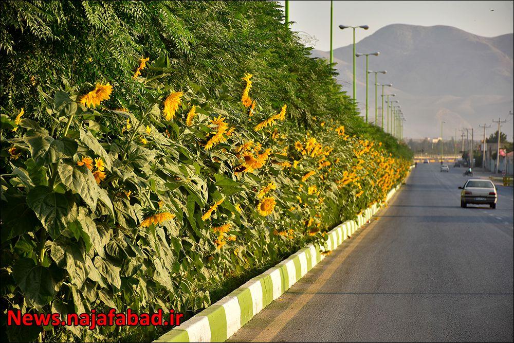 کاشت گل آفتابگردان در نجف آباد ۹هزار متر مربع آفتابگردان در بلوار نجف آباد+تصاویر ۹هزار متر مربع آفتابگردان در بلوار نجف آباد+تصاویر 1597225358 C1yL7