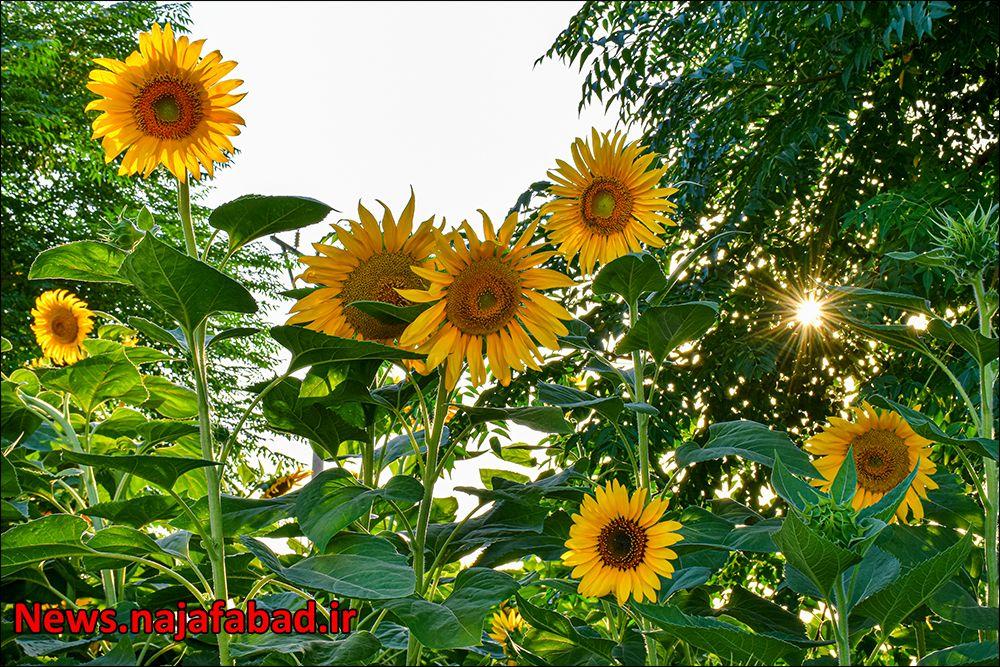 کاشت گل آفتابگردان در نجف آباد ۹هزار متر مربع آفتابگردان در بلوار نجف آباد+تصاویر ۹هزار متر مربع آفتابگردان در بلوار نجف آباد+تصاویر 1597225362 S8xW9