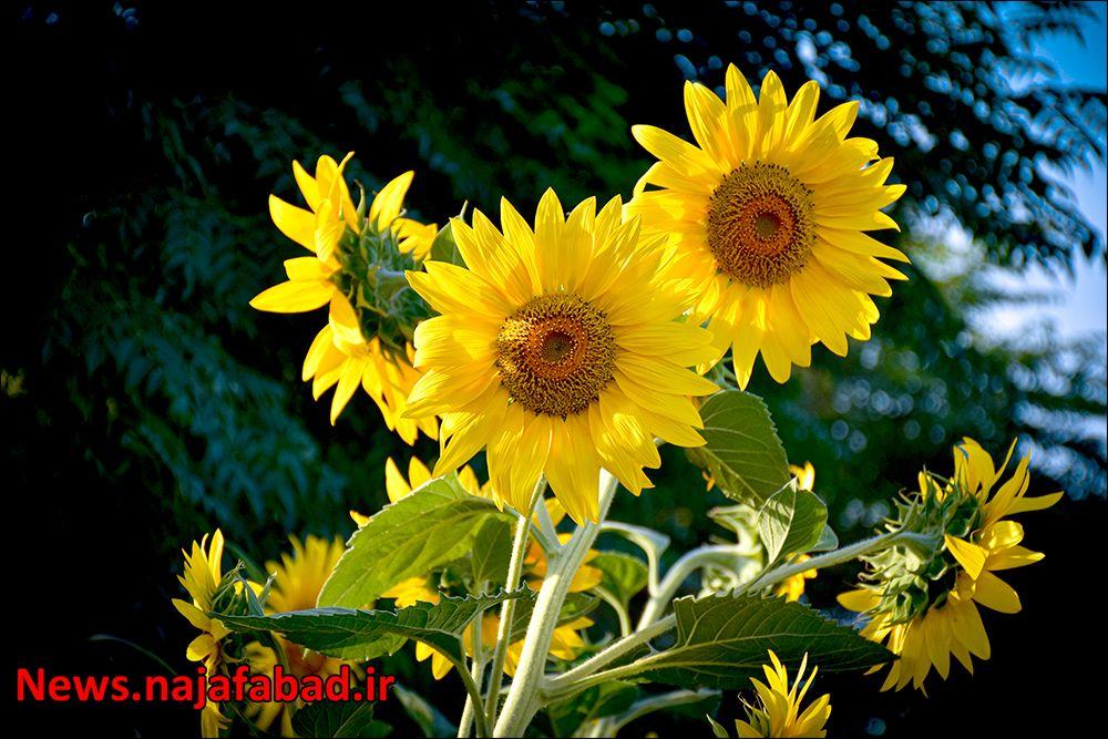 کاشت گل آفتابگردان در نجف آباد ۹هزار متر مربع آفتابگردان در بلوار نجف آباد+تصاویر ۹هزار متر مربع آفتابگردان در بلوار نجف آباد+تصاویر 1597225364 A3bF2
