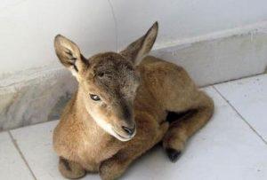 بره قوچ کشف یک بره قوچ وحشی در نجف آباد کشف یک بره قوچ وحشی در نجف آباد               300x203