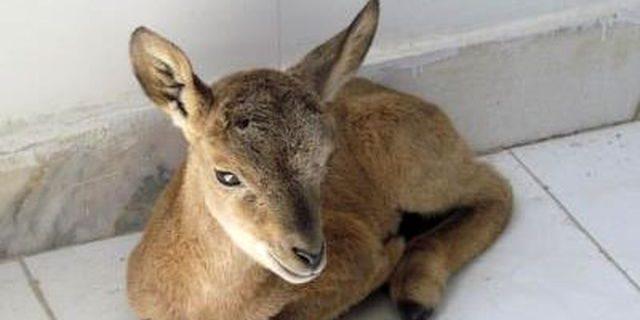 کشف یک بره قوچ وحشی در نجف آباد کشف یک بره قوچ وحشی در نجف آباد کشف یک بره قوچ وحشی در نجف آباد               640x320