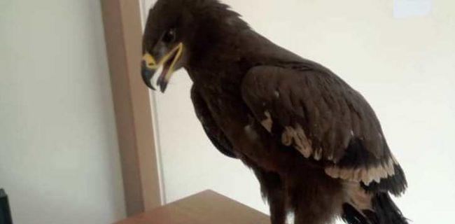 کشف عقاب صحرایی در نجف آباد+تصویر کشف عقاب صحرایی در نجف آباد+تصویر کشف عقاب صحرایی در نجف آباد+تصویر                                                   650x320