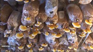 تولید قارچ گانودرما در نجف آباد تولید قارچ طب سنتی در نجف آباد+تصاویر و فیلم تولید قارچ طب سنتی در نجف آباد+تصاویر و فیلم 5536304 828 300x169
