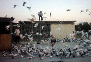 کبوتر بازی مشارکت کفتربازان نجف آباد در دفاع مقدس مشارکت کفتربازان نجف آباد در دفاع مقدس                  300x204