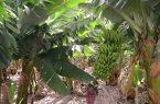 فرآوری الیاف ساقه درخت موز در نجف آباد+فیلم